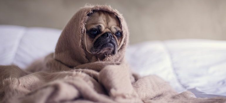 A pug wrapped up in a blanket