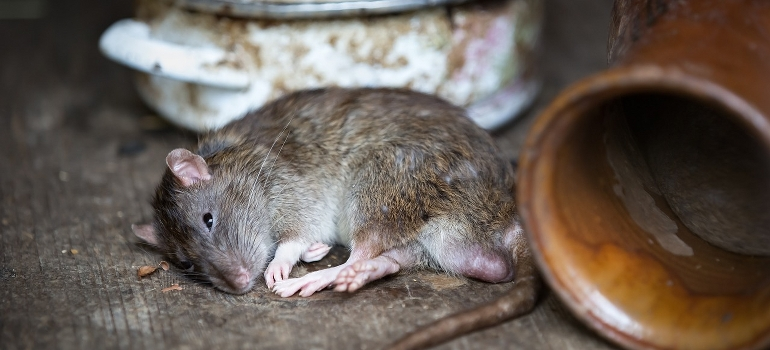 A rat sleaping
