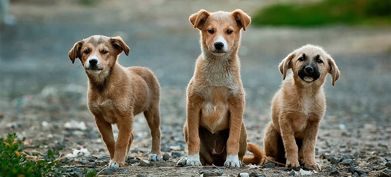 Three little pups.