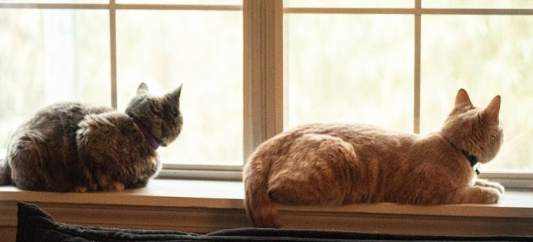 two cats looking out the window before moving abroad