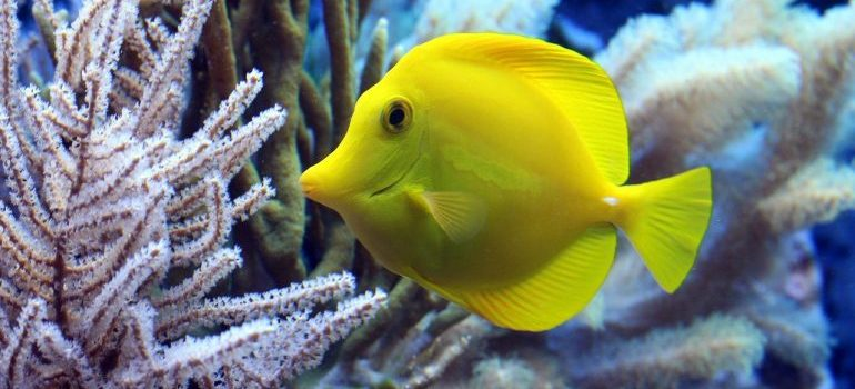 A yellow fish next to a coral.
